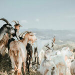 Goat Meat Facts